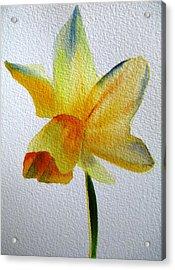 Yellow Spring Daffodil Acrylic Print by Sacha Grossel