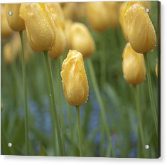 Yellow Spring Acrylic Print by Sarah Crites