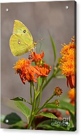 Acrylic Print featuring the photograph Yellow Sulphur Butterfly by Debra Martz