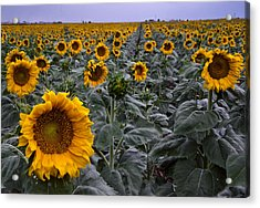 Yellow Sunflower Field Acrylic Print