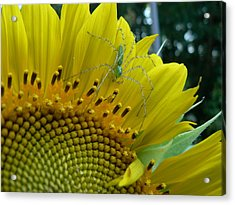 Acrylic Print featuring the photograph Yellow Sunflower With Green Spider by MM Anderson