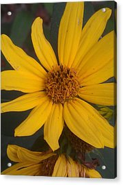 Yellow Sunshine Acrylic Print by Kim Martin