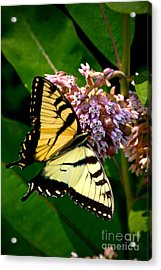 Yellow Swallowtail Butterfly Acrylic Print by Amy Cicconi