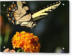 Acrylic Print featuring the photograph Yellow Swallowtail by Kelly Nowak