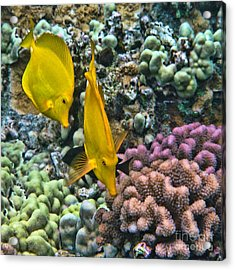 Yellow Tang Pair Acrylic Print by Peggy Hughes
