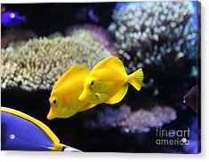 Yellow Tang Tropical Fish 5d24887 Acrylic Print