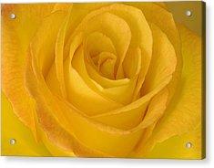 Yellow Tea Rose Acrylic Print by John Pitcher