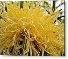 Yellow Tendrils Acrylic Print