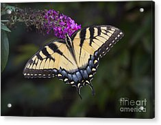 Yellow Tiger Acrylic Print by Cris Hayes