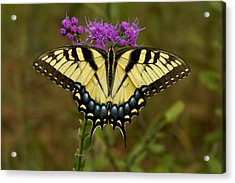Yellow Tiger Swallowtail Butterfly. Acrylic Print