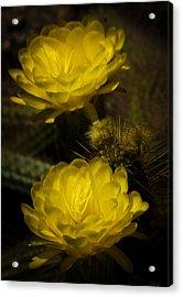 Yellow Torch Cactus  Acrylic Print by Saija  Lehtonen