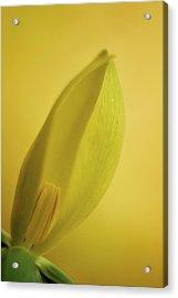 Yellow Trillium - Trillium Luteum Acrylic Print