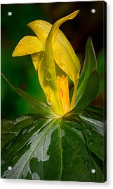 Acrylic Print featuring the photograph Yellow Trillium by Tyson and Kathy Smith