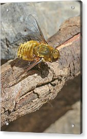 Acrylic Print featuring the photograph Yellow True Bee Fly - Bombiliinae by Jivko Nakev