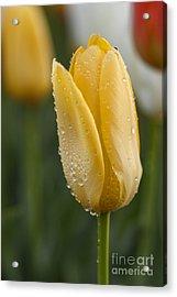 Yellow Tulip And Dew Drops Acrylic Print by Vishwanath Bhat