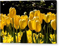 Yellow Tulip Attention Acrylic Print