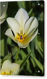 Yellow Tulip Acrylic Print by Bob Noble Photography