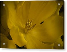 Yellow Tulip Acrylic Print by Cindy Rubin