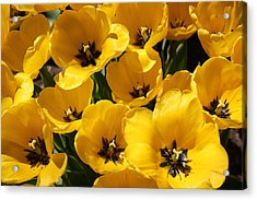Acrylic Print featuring the photograph Golden Tulips In Full Bloom by Dora Sofia Caputo Photographic Art and Design