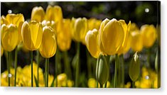 Yellow Tulips On Parade Acrylic Print