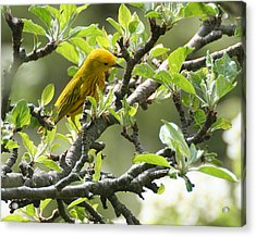 Yellow Warbler In Pear Tree Acrylic Print