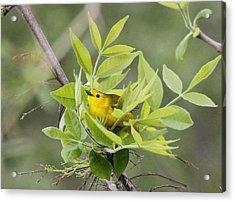 Yellow Warbler Surprise Acrylic Print
