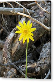 Acrylic Print featuring the photograph Yellow Wildflower by Laurel Powell