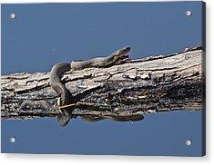 Yellowbelly Water Snake - 8494 Acrylic Print
