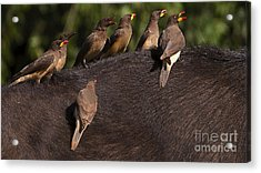 Yellowbilled Oxpeckers On Buffalo Acrylic Print