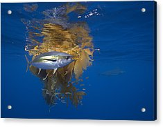 Yellowfin Tuna And Kelp Nine-mile Bank Acrylic Print by Richard Herrmann