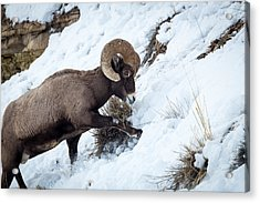 Yellowstone Bighorn Acrylic Print