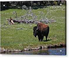 Yellowstone Bison By Nez Perce Creek Acrylic Print