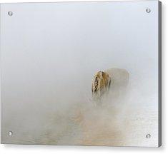 Yellowstone Bison Acrylic Print