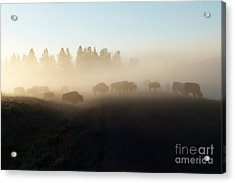Yellowstone Bison In Early Morning Fog Acrylic Print by Bob and Nancy Kendrick