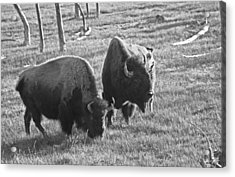 Yellowstone Bison In Late Afternoon Acrylic Print