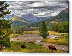 Yellowstone Bison Acrylic Print by Michael H Spivak