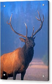 Acrylic Print featuring the photograph Yellowstone Bull Elk by Dennis Cox WorldViews