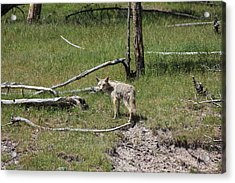 Yellowstone Coyote Acrylic Print
