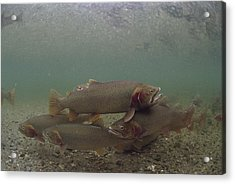 Yellowstone Cutthroat Trout In Stream Acrylic Print