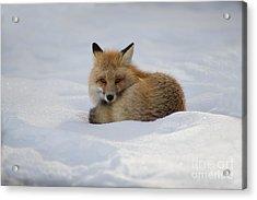 Yellowstone Fox # 2 Acrylic Print