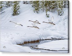 Yellowstone Geese Fly By Acrylic Print by David Yack