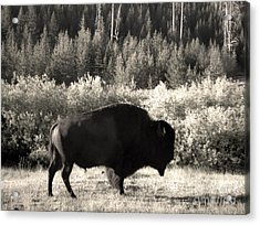 Yellowstone National Park Bison Acrylic Print by Gregory Dyer