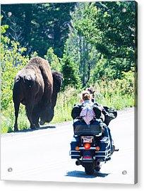 Yellowstone Road Hog Acrylic Print