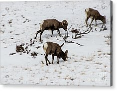 Yellowstone Sheep Acrylic Print