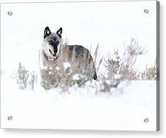 Yellowstone Wolf Acrylic Print