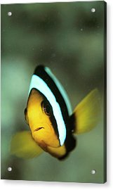 Yellowtail Anemonefish Acrylic Print