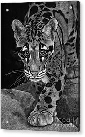 Yim - The Clouded Leopard Acrylic Print