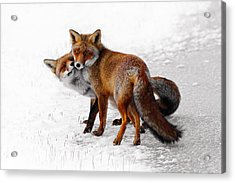 Yin Yang _ Red Fox Love Acrylic Print
