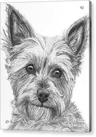Yorkie Drawing Acrylic Print