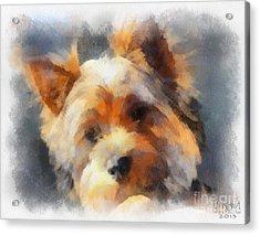 Yorkie Love Acrylic Print